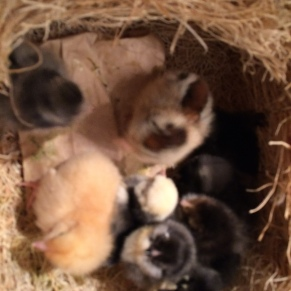 There is nothing cuter than a box of fluffy chicks!