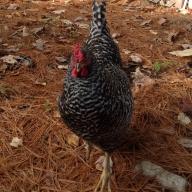 Chick-a-lick
